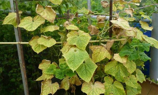 листья скручиваются и желтеют