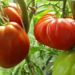 Характеристика и описание сорта томата Пузата хата, выращивание и уход