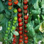 Характеристика и описание гибрида томата Рапунцель F1, выращивание и уход