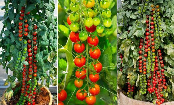 выращивание томатов рапунцель