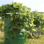Как правильно выращивать огурцы в бочке: выбор и подготовка емкости и грунта, посадка, уход
