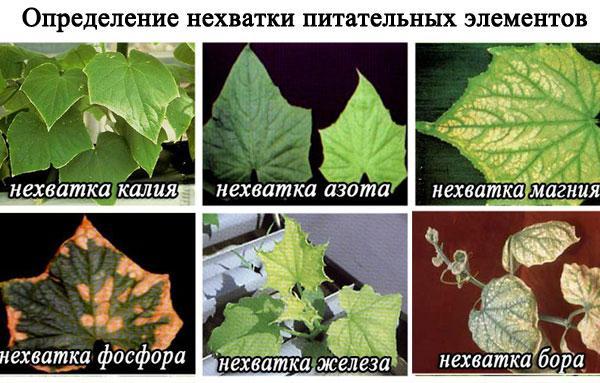 признаки нехватки питательных элементов на листьях огурцов