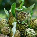 Выращивание артишока из семян и отводками, характеристики сортов, уход