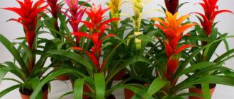 Уход в домашних условиях за цветком Гузмания, пересадка и размножение