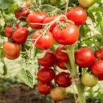 Характеристика и описание гибрида томата Любаша F1, выращивание и уход