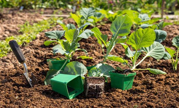 агротехника капусты