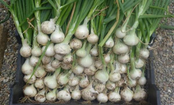 урожайность лука