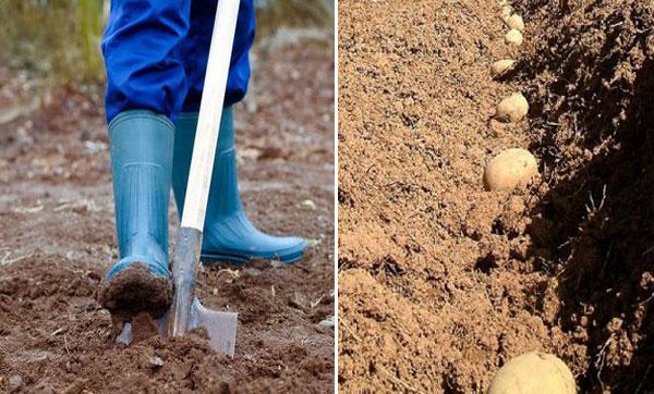агротехника картофеля