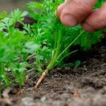 Зачем прореживать морковь: когда и в какие сроки, проведение прополки