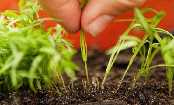 прореживание морковки