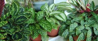 Уход в домашних условиях за цветком Калатея, пересадка и размножение