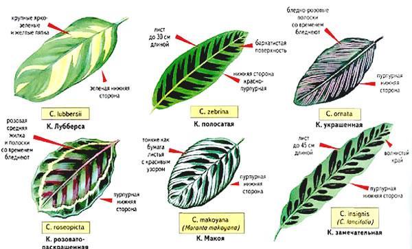 окрасы листьев калатеи