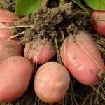 картофель красавчик