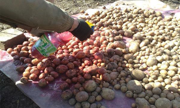 обработка клубней картофеля