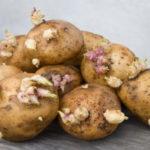 Правильное проращивание картофеля перед посадкой: сроки и способы проведения процедуры