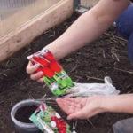 Правильная посадка редиса в теплицу из поликарбоната: когда сажать, выращивание и уход