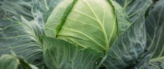Характеристика и описание сорта капусты Сахарная голова, выращивание и уход