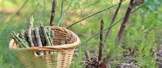 Что это за овощная культура спаржа, как она выглядит, где и как растет