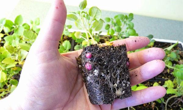 выращивание картофеля семенами