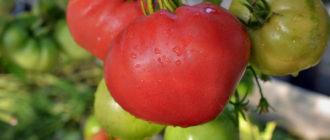 Характеристика и описание сорта томата Японский краб, выращивание