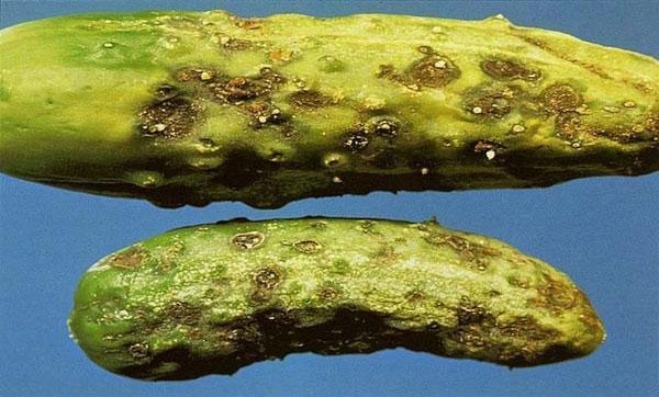 Кладоспориоз или оливковая (бурая) пятнистость
