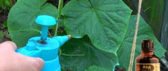 Рецепты приготовления раствора для огурцов на основе йода для подкормки, обработки, полива