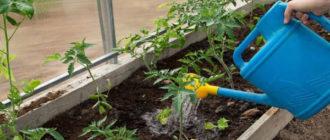 Как часто необходимо поливать помидоры в теплице и открытом грунте