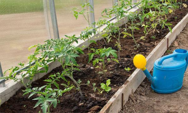 полив в активного роста томатов