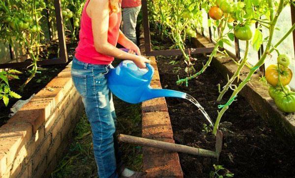 полив томатов при созревании