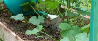 Как правильно поливать огурцы в теплице и открытом грунте
