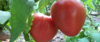 Характеристика и описание сорта томата Лентяйка, выращивание