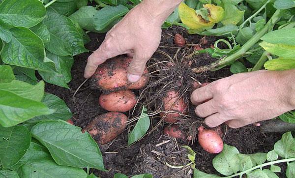 Лучшие сорта картофеля ранние: посадка и уход
