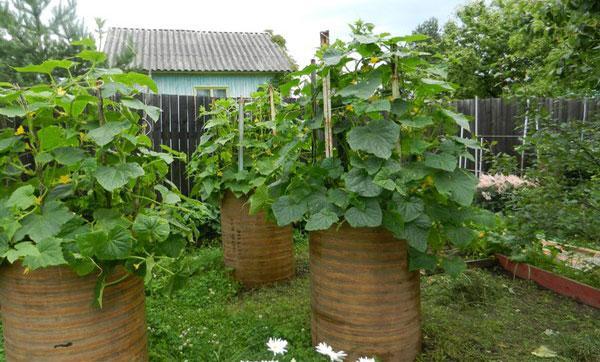выращивание в бочках