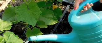 Правильная подкормка огурцов в открытом грунте: как, чем и когда удобрять
