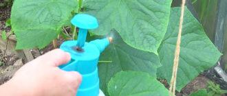Чем подкормить огурцы в теплице: как и когда удобрять растения