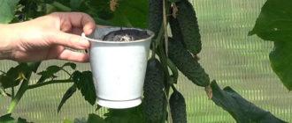 Правила подкормки огурцов золой: как и когда вносить удобрение, рецепты