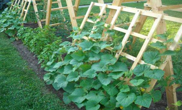 Как выращивать огурцы в домашних условиях в открытом грунте?