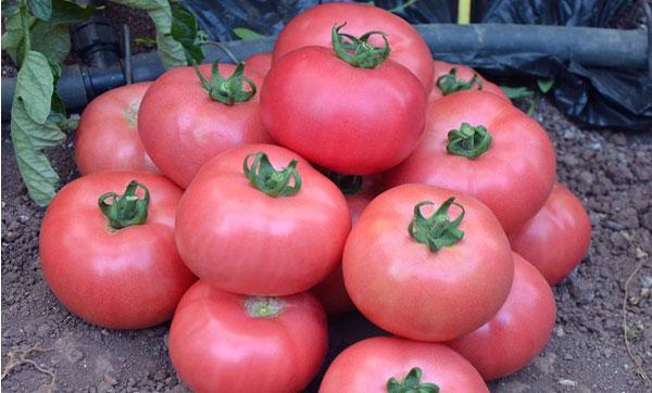 томат сорт Дикая роза