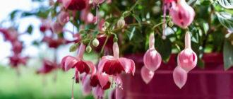 Выращивание и уход в домашних условиях за Фуксией, пересадка и размножение
