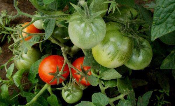 томат сорт Клуша
