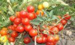 томат сорт Пиноккио