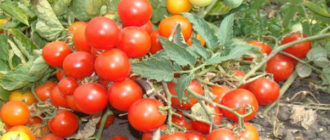 Характеристика и описание томата сорта Пиноккио, выращивание