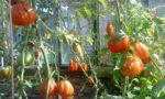 томат сорт сто пудов