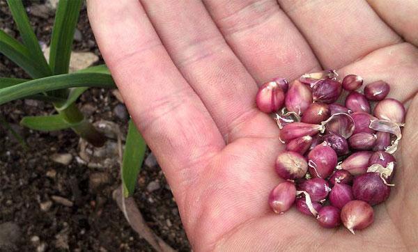 выращивание бульбочек