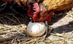 куры расклевывают яйца