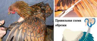 подрезка крыла курам