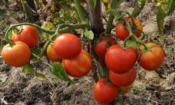 томат ирина F1