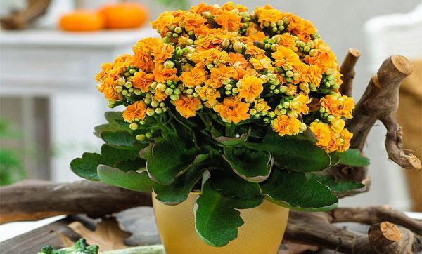 цветок каланхоэ каландива