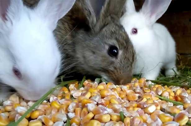 Можно ли кормить кроликов кукурузой сухой