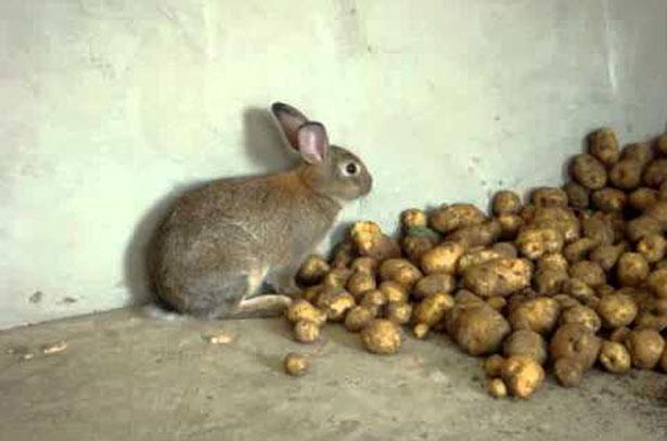 Можно ли декоративным кроликам картошку сырую. Картошка в рационе кроликов